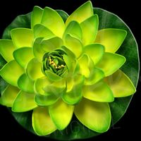 Lotus Natural Verte